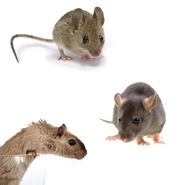 جلوگیری از هجوم و حمله موش ها به خانه