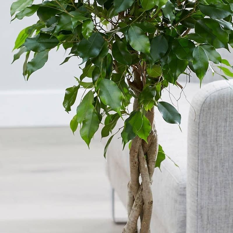 درخت فیکوس گیاه آپارتمانی 1