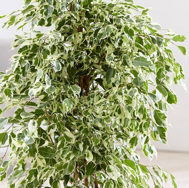درخت فیکوس گیاه آپارتمانی 2