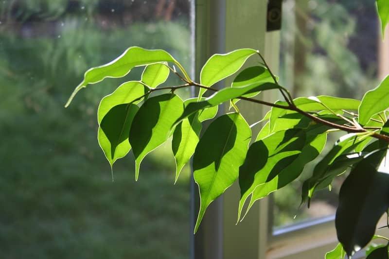 درخت فیکوس گیاه آپارتمانی