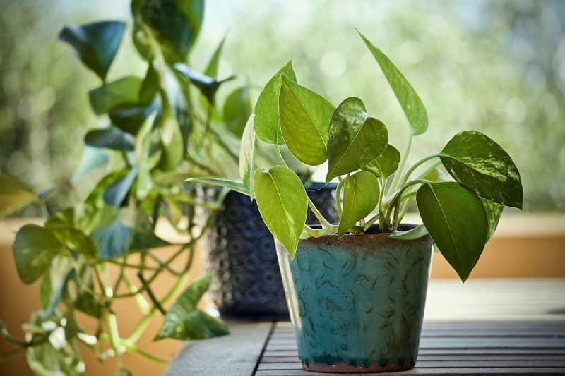 گیاهان آپارتمانی پوتوس