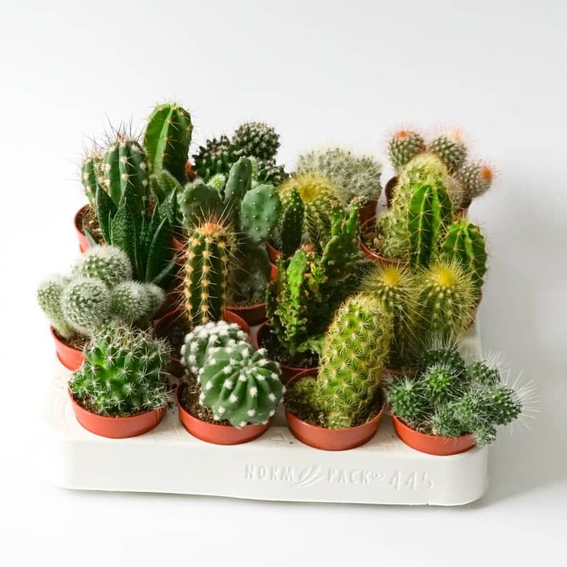 گیاهان آپارتمانی کاکتوس ها