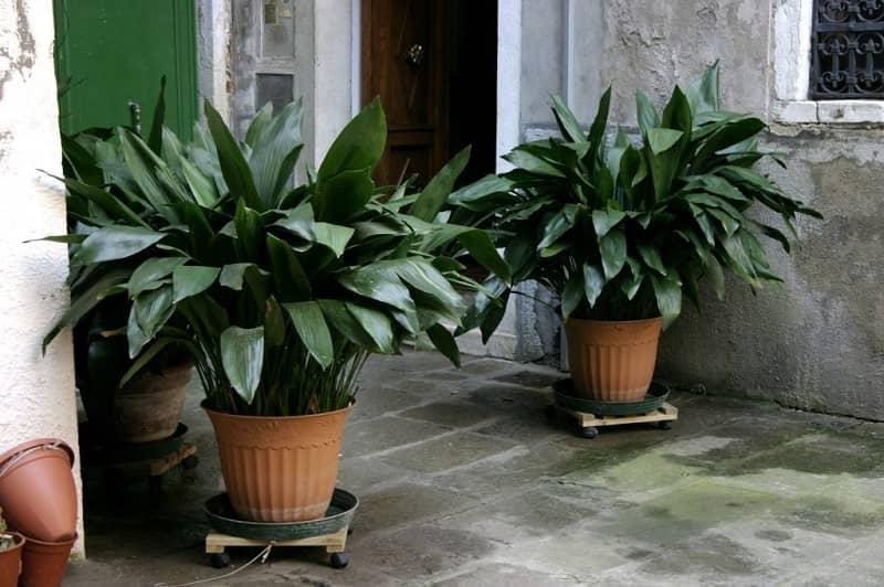 گیاه آپارتمانی برگ عبایی