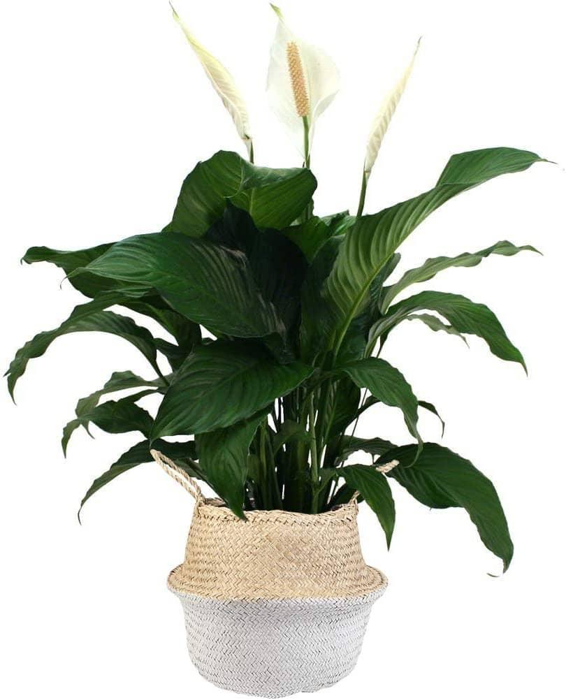گیاه آپارتمانی اسپایتی فلیوم یا سوسن صلح 2