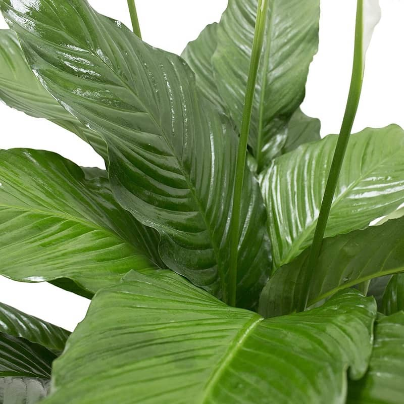گیاه اپارتمانی اسپایتی فلیوم یا سوسن صلح 4
