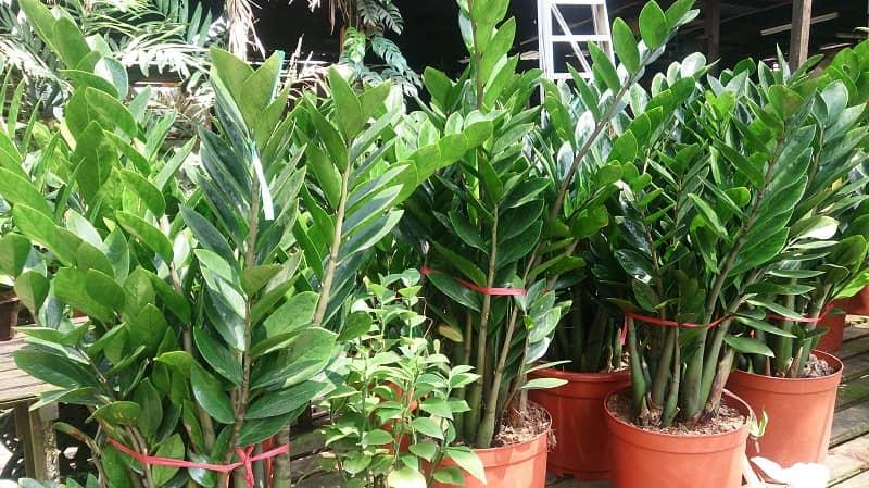 گیاه اپارتمانی زامیفولیا