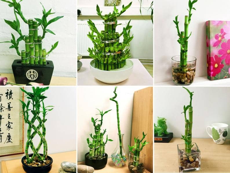 bamboo بامبو گیاه آپارتمانی